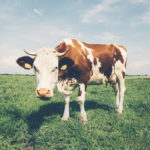 negative-space-white-and-brown-cow-in-field_redimensionner
